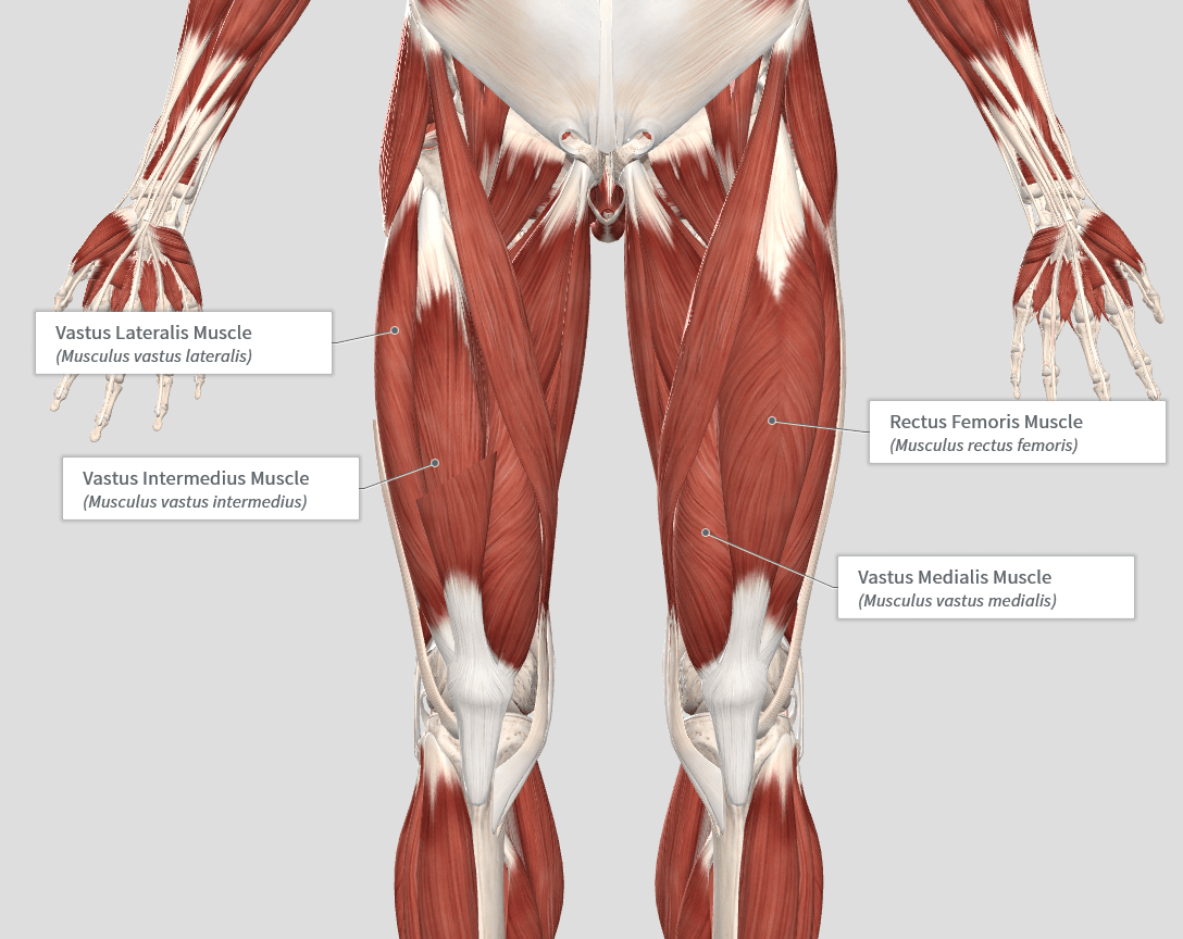 Quadricep Muscles (Quads)- Keep them Strong! - NFL BlogR