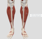 anterior tibialis- improve ankle mobility