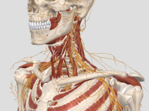 front neck nerve innervation