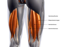 importance of the hamstrings
